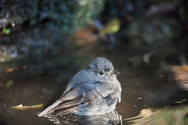 A New Zealand robin takes a bath