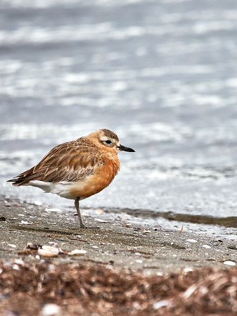 New Zealand dotterel, an endangered species of shorebird found only in certain areas of New Zealand. It is also called the New Zealand plover or red-breasted dotterel