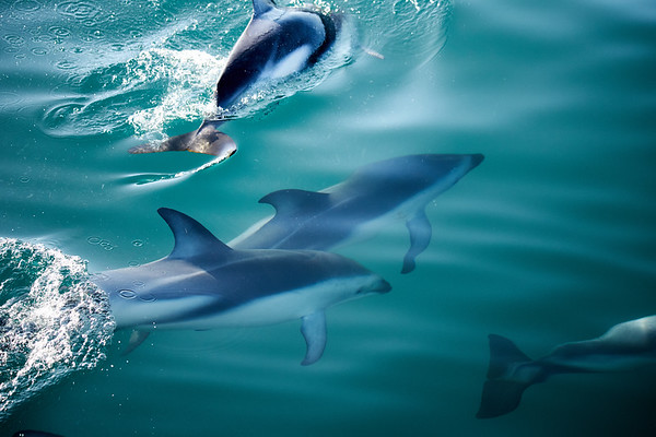D3usky dolphins in the Marlborough Sounds