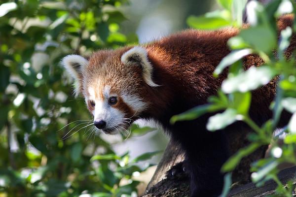 Red Panda at Auckland Zoo