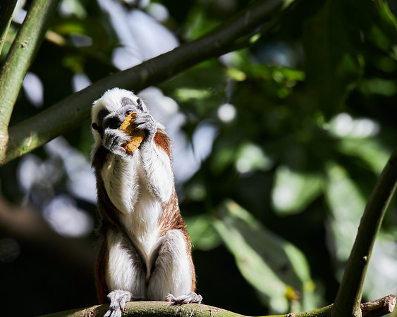 A cotton-top tamarin feeding on a piece of fruit. They are found only in the northern region of Colombia in tropical dry forests