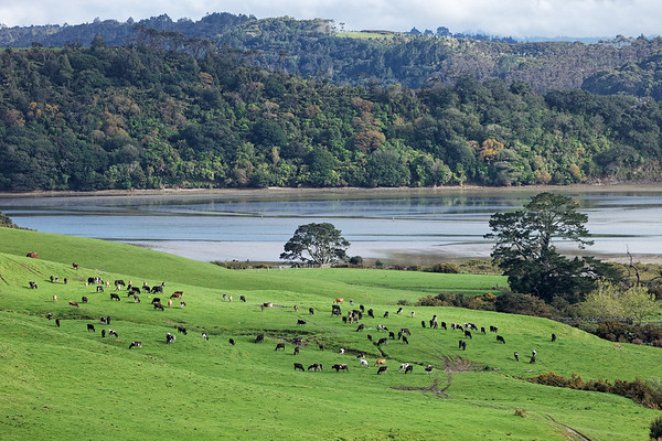 Dairy cattle on fields next to Okura estuary and Long Bay-Okura Marine Reserve near Auckland