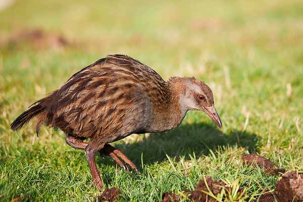 A weka on Waiheke Island, a flightless bird species of the rail family, endemic to New Zealand