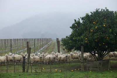 Soggy sheep on a rainy day in Gisborne