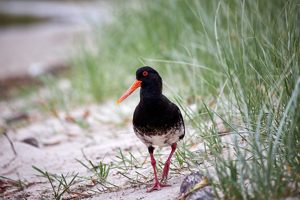 Variable oystercatcher at Matarangi beach in the Coromandel