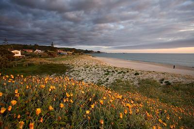 Spring flowers on the dunes at Whiritoa Beach, Coromandel, sunrise