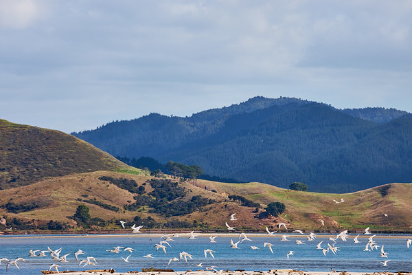 Flock of white-fronted terns at Matarangi beach in the Coromandel