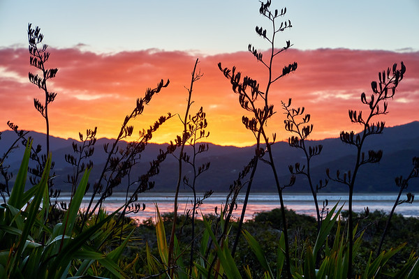 Mtarangi estuary at sunset with flax seed pods, on the Coromandel Peninsula in New Zealand's North Island