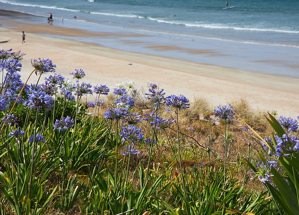 Agupanthus flowers at Opito beach in the Coromandel