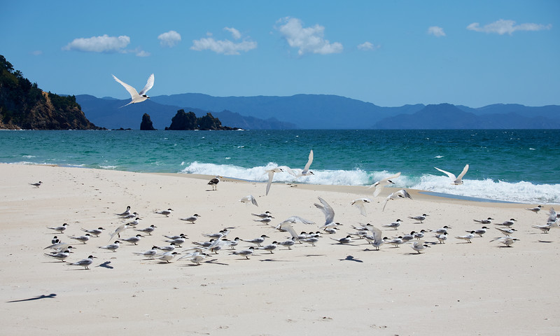 White-fronted terns at Otama beach on the Coromandel Peninsula in New Zealand's North Island