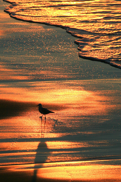 Golden Gull
