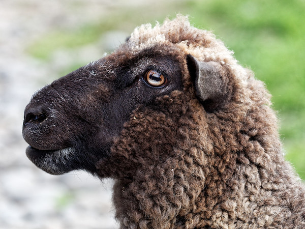 """""""Crazy Eyes"""", a sheep at Flea Bay on the Banks Peninsula in New Zealand's South island"""
