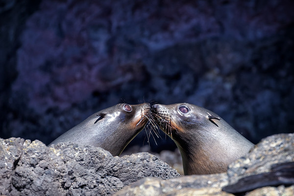 New Zealand fur seal siblings