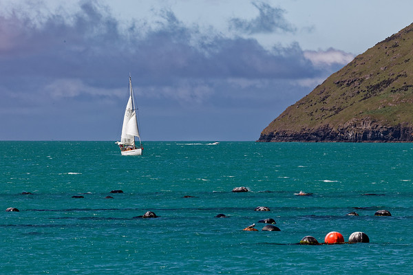 A yacht approaching a mussel farm in Aakaroa harbour