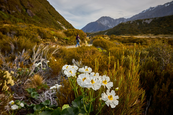 Mount Cook Lily,, also called the Great Mountain Buttercup, or Shepherd's Lily; Ranunculus lyallii; with walker on the Hooker Valley track
