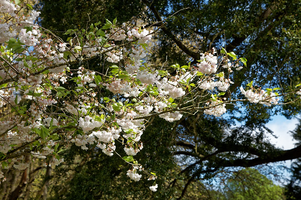 Spring blossom in Botanical Gardens in Hagley Park, Christchurch