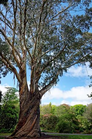 Gum tree in v
