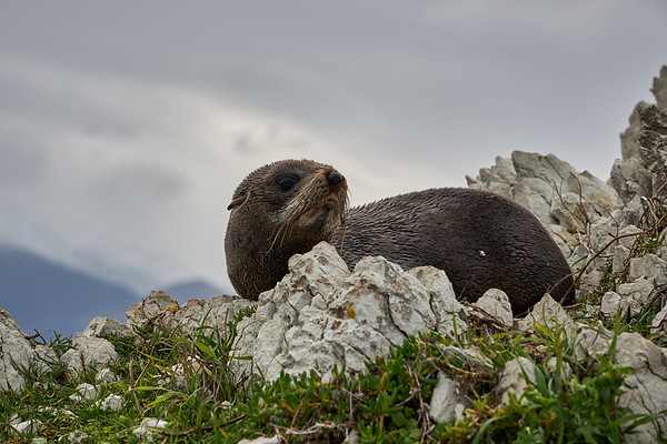 A New Zealand fur seal pup in Kaikoura  in the South Island