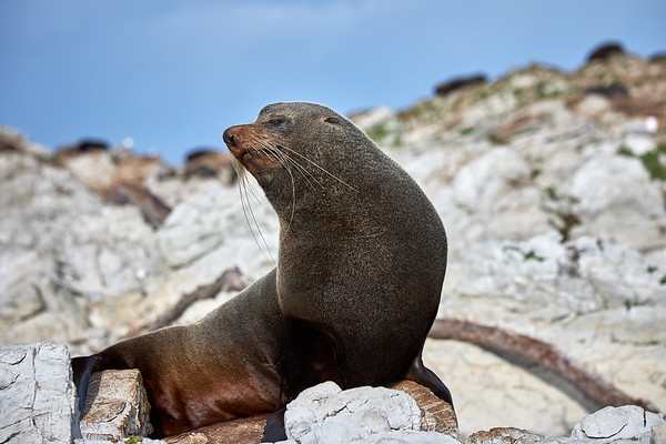 Adult New Zealand fur seal  in Kaikoura, an area of rich pickings for all marine mammals