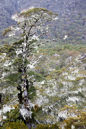 Beech forest decorated with moss on the St James Track in the Lewis Pass of New Zealand's Southern Alps