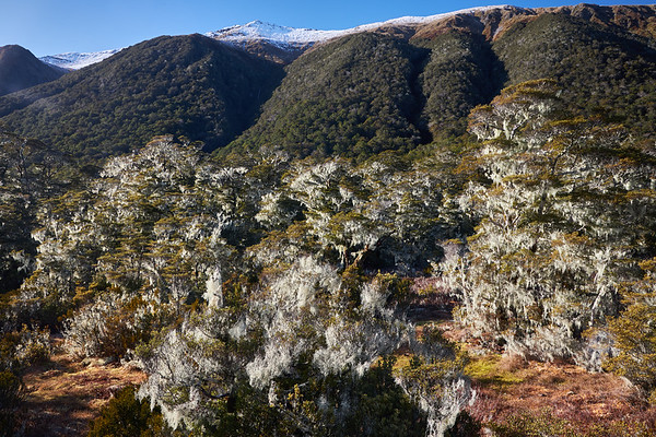 Moss covered beech trees on St James Track in the Lewis Pass in the Canterbury region of the South Island