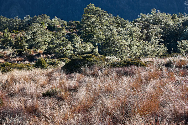 Tussock grass and beech forest on the St James Track in the Lewis Pass of New Zealand's Southern Alps
