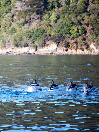 Synchronised swimming from a pod of dusky dolphins in the Marlborough Sounds