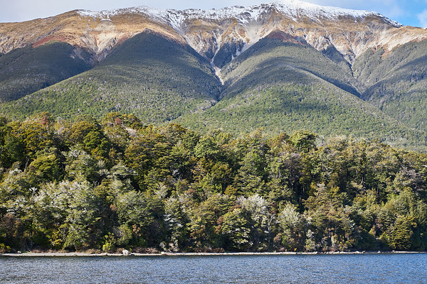 Beech forest at Lake Rotoiti in Nelson Lakes National Park in the Tasman District of New Zealand's South Island