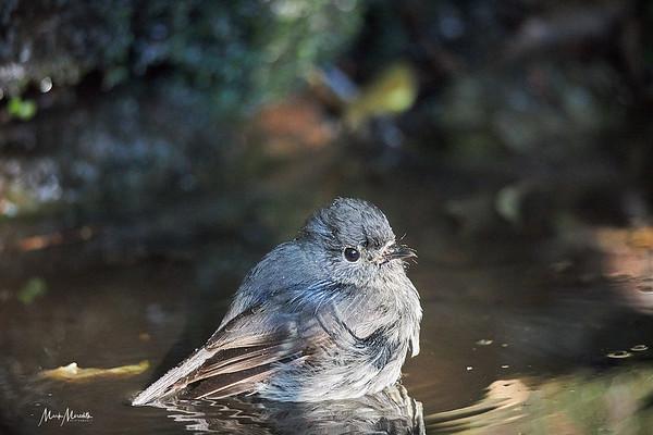 A New Zealand robin takes a bath