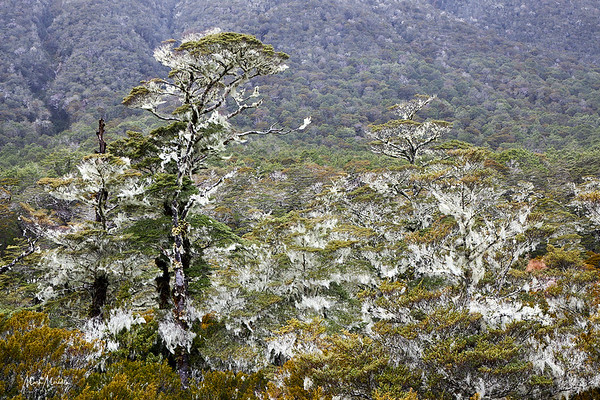 Beech forest decorated with moss on the St James Track in the Lewis Pass of the Southern Alps