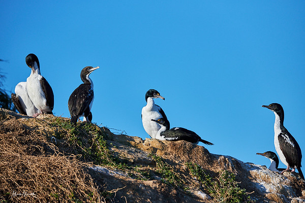 King shags, one of the rarest birds in the world whose numbers are estimated at around 600. This small colony is in the Marborough Sounds in the northeast of New Zealand's South Island