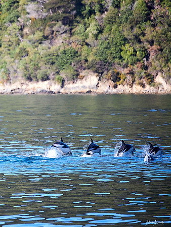 Synchronised swimming in the Marlborough Sounds