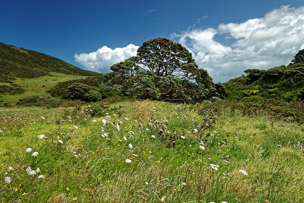 Meadow with pohutukawa on the Hillary Trail near Muriwai