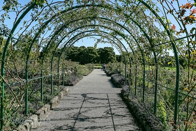 Arch Rose Trellis at Auckland Botanic Garden