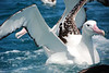 New Zealand White Albatross