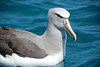 Salvan's Albatross