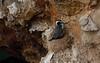 Nesting Spotted Shag
