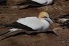 Nesting Gannet