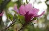 Magnolia blossom, Auckland Botanical Garden