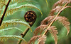 Tree fern frond - inspiration for many Maori carvings