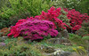 Vivid Azaleas - Christchurch botanical garden.