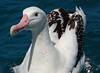 Wandering Albatross (uncommon native)