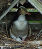 Yelllow-eyed Penguin (uncommon endemic)