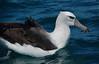 New Zealand White Albatross (common native)