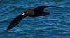 Westland Petrel (uncommon endemic)
