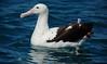 Royal Albatross (common endemic)