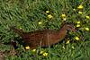 Weka  (common endemic)