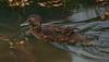 Brown Teal (rare endemic)