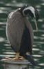King Shag (rare endemic)