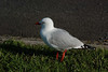 Red-billed gull at Gulf Harbour marina